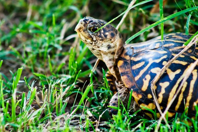 turtle-100