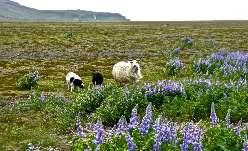 goats-along-icelands-southern-coast