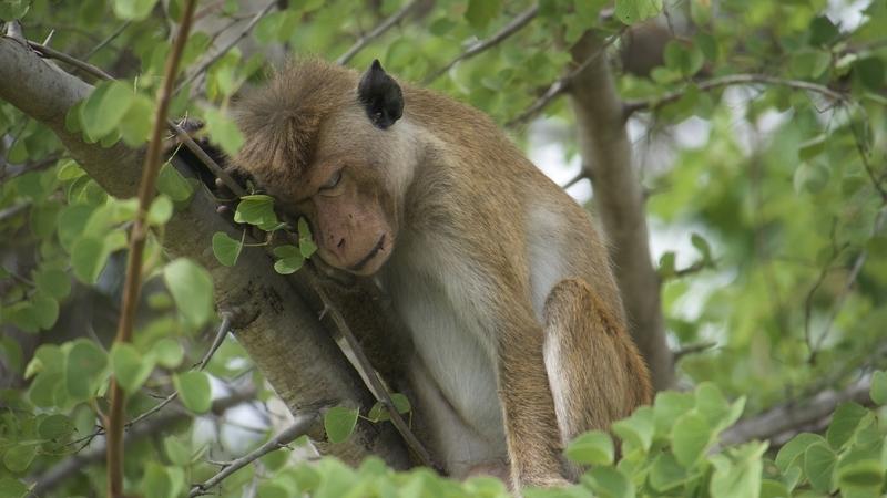 Monkey in Udawalawe National Park