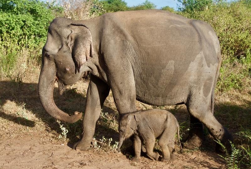 Elephants in Udawalawe