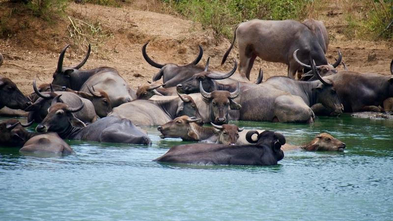 Water Buffalo in Sri Lanka