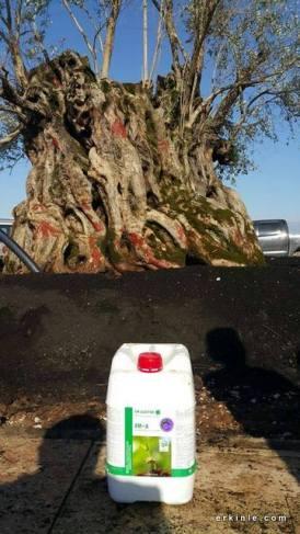 Antalya Expo için sembol haline gelen 945 yaşındaki zeytin ağacı