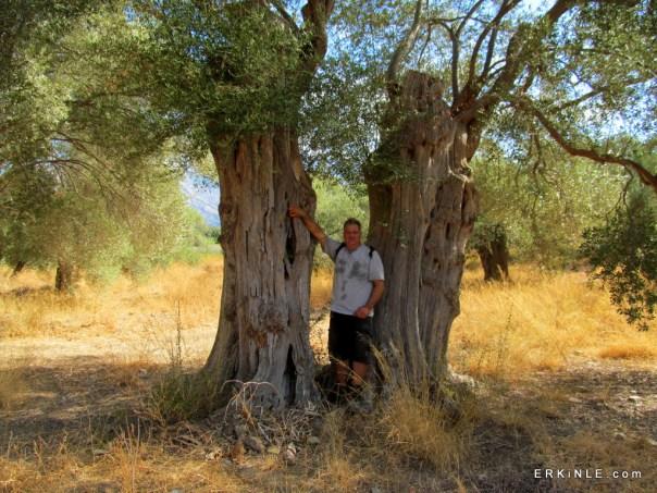 Bafa zeytin ağaçları