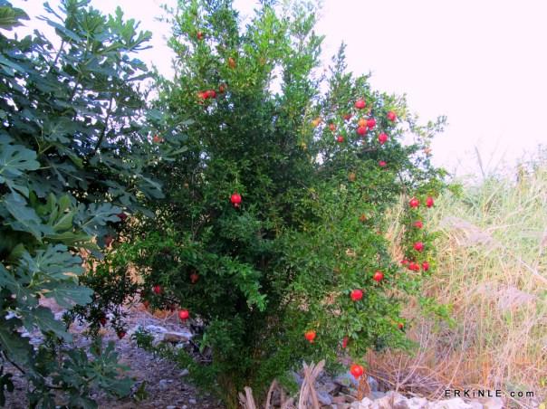 nar ağacı narsız olur mu