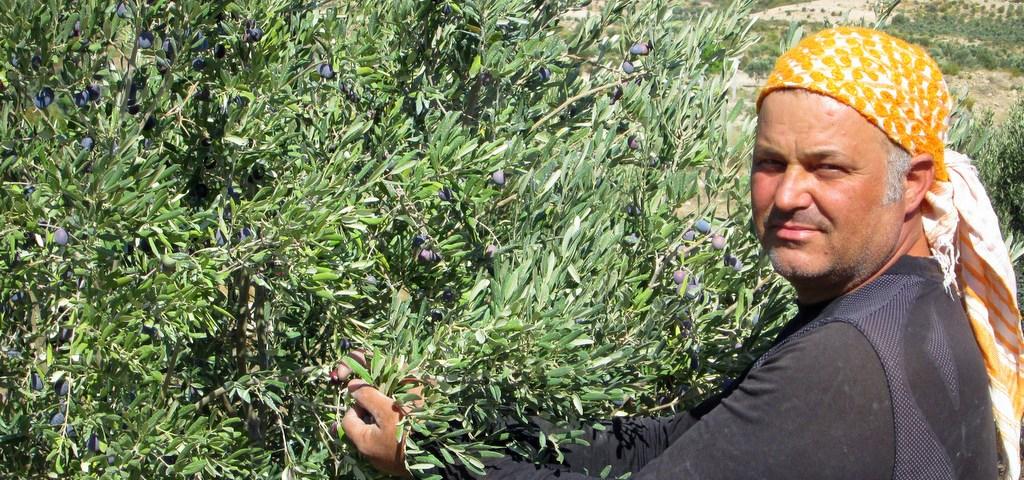 yağlık zeytinlerimizde ilk yağ hasadı