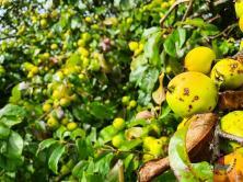 Äpfel im Geltinger Birk