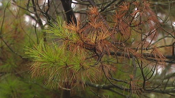 Las instituciones vascas ponen en marcha un plan contra la enfermedad de los pinos
