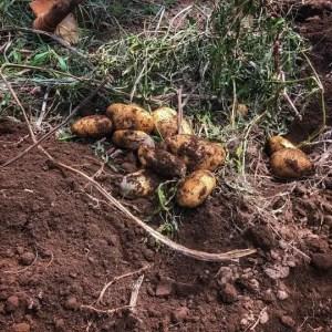 Taburno Experience, l'antico rito della patata interrata di Cautano