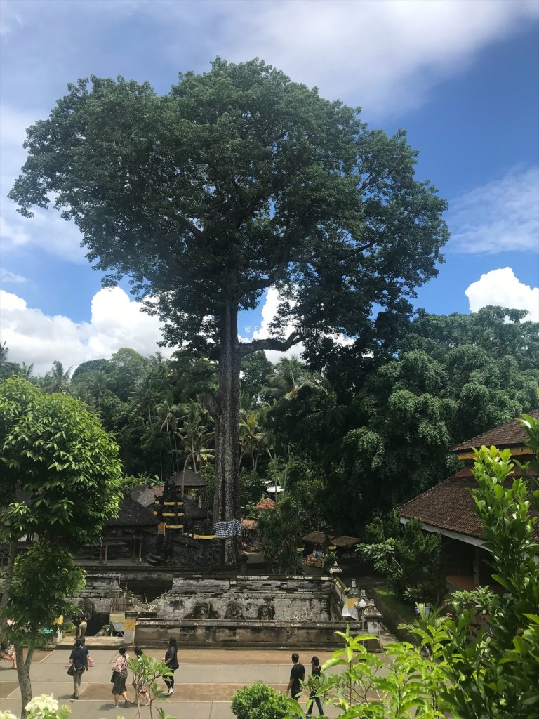 The Holy tree at Goa Gajah