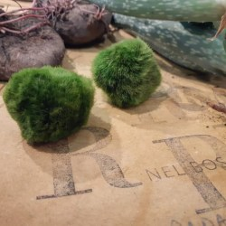 cura del marimo - come prendersi cura di un'alga palla - R nel bosco