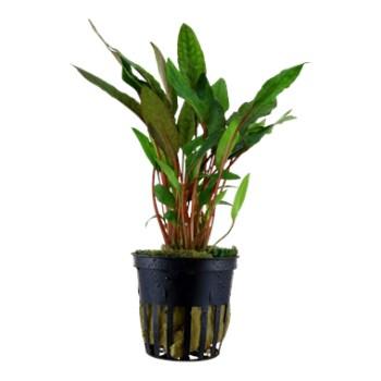 cura della pianta acquatica - consigli - R nel bosco - Cryptocoryne 2