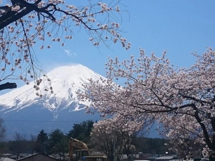 Sakura, kersenbloesem in Japan