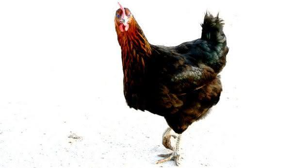 Piadas para crentes: Por que o frango atravessou a estrada. Respostas diversas