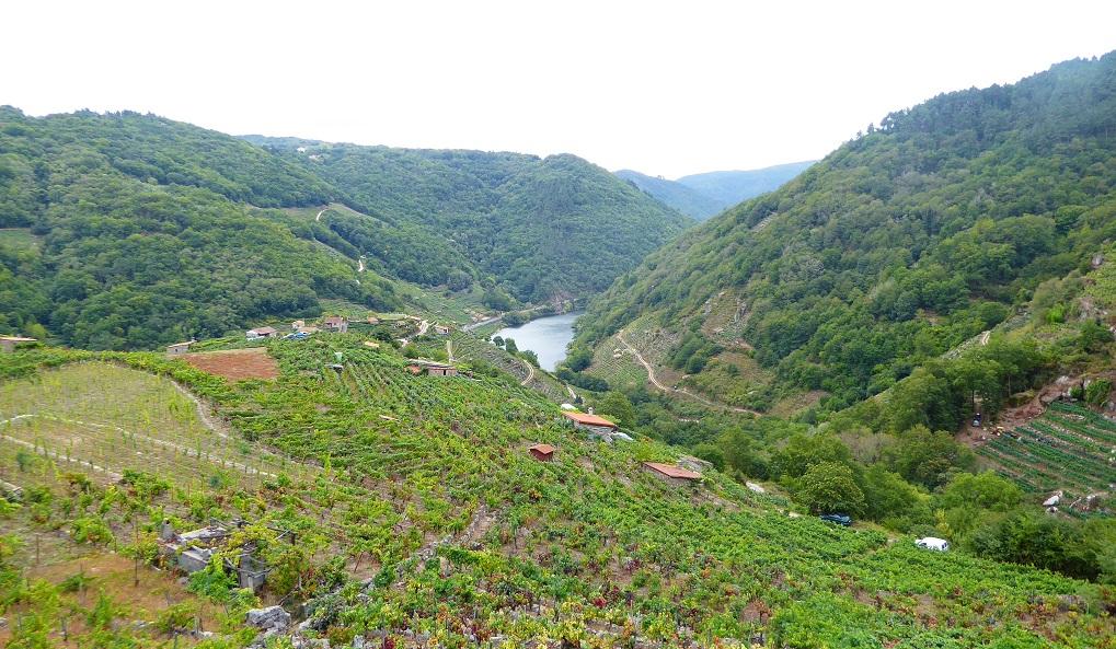 Viticultura en la ladera del Miño