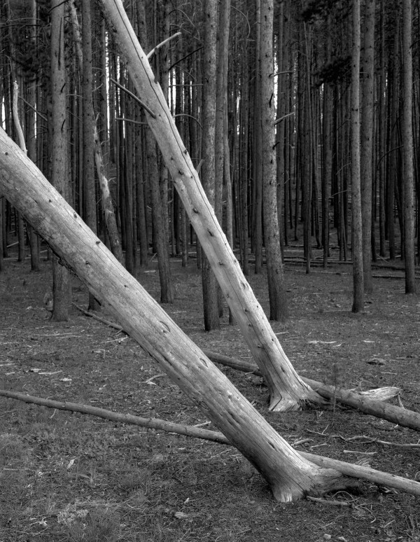 William Lemke, Leaning Trees Yellowstone