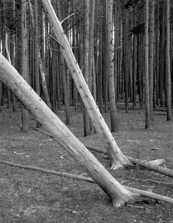 William Lemke, Leaning Trees Yellowstone