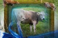 cow-tv-sm