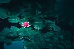 bunga-lotus