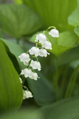 Lily of the Valley ~Return of Happiness