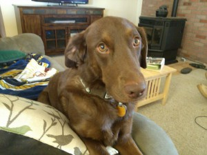 Reese, my beautiful chocolate retriever
