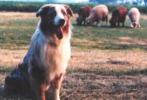 shepherd's crook