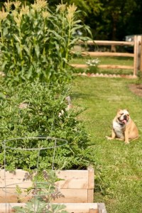 The kitchen garden months later with our bulldog, Lola.