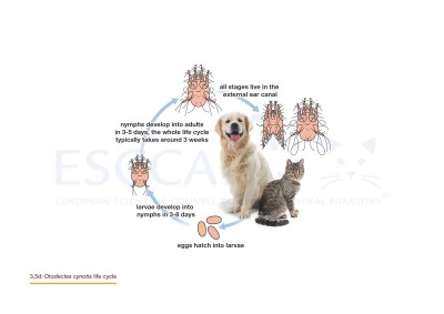 Life Cycles GL3MG3 Control Of Ectoparasites In Dogs And Cats ESCCAP