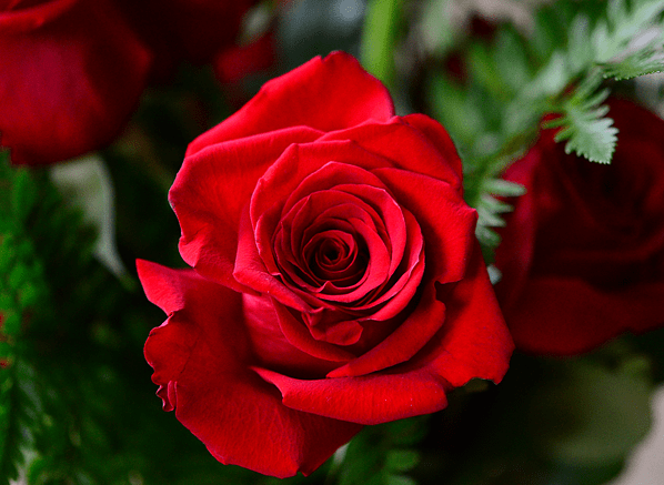 A Gift of Roses for Valentine's Day