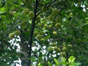 Garcinia_cambogia albero