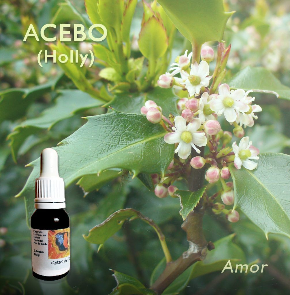 Flores de bach acebo holly. Amor Incondicional