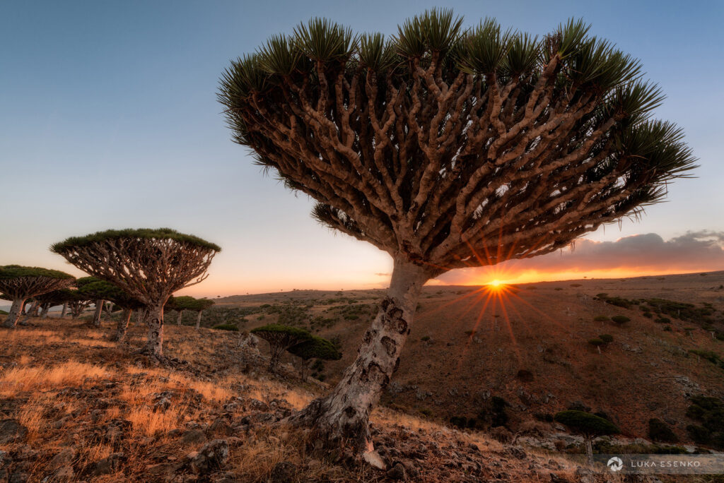Dragon blood trees, Socotra