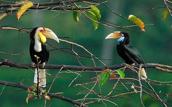 royal-belum-bird-expedition-tasik-temenggor-burung-enggang-hornbill-10-spesies-hornbill-royal-belum-persatuan-pencinta-alam-malaysia-mns-malaysia-nature-society-eshamzhalim-wreathed-hornbill