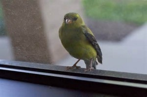 Oiseau dans la maison