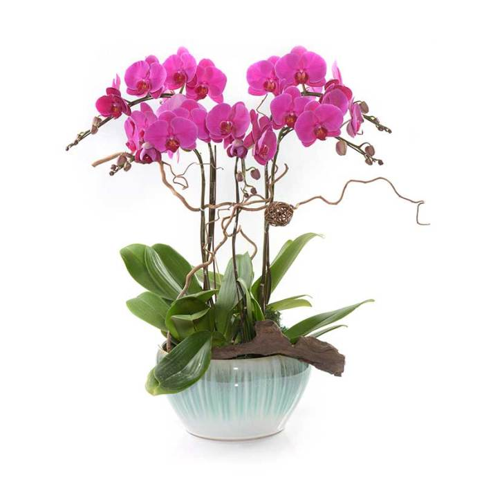 Phalaenopsis potted in a ceramic vase for grand opening & flowers in vase | Eska Creative Creative