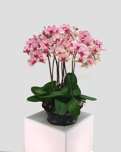 Majestic Blooms of Pink Phalaenopsis | Flowers In Vase | Eska Creative Gifting