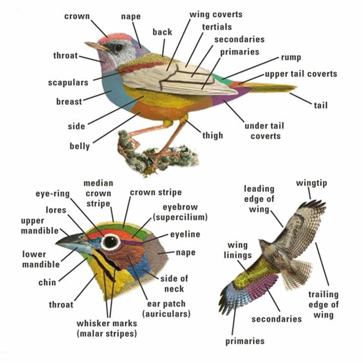 Bird Vocabulary And Parts Of A Bird