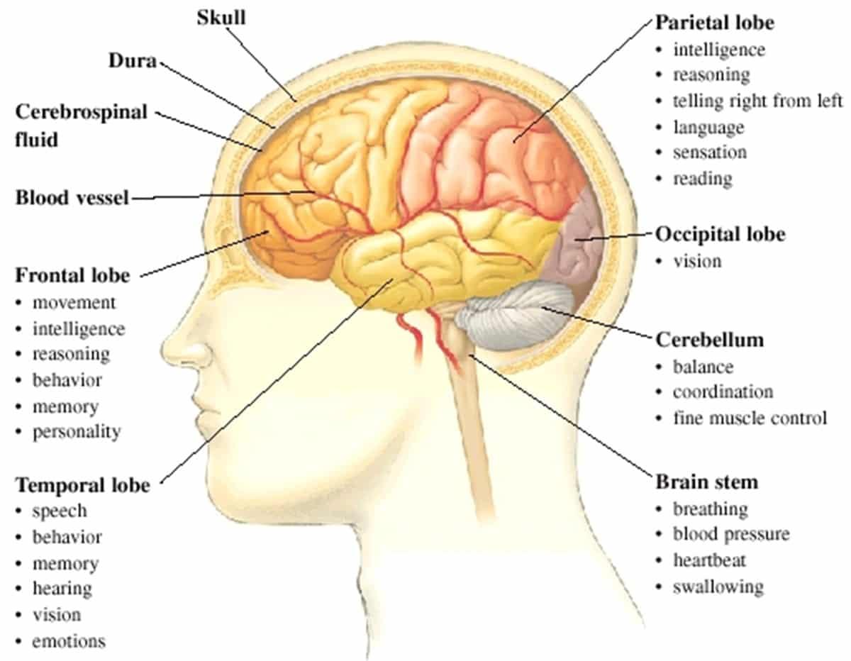 English Vocabulary: Internal Organs of the Human Body