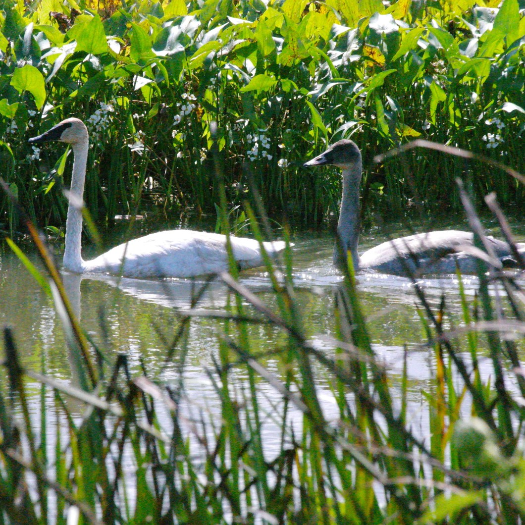 Baby Trumpeter Swan and Parent