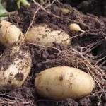 Comment planter des pommes de terre ?
