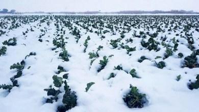 الثلوج على القطاع الفلاحي