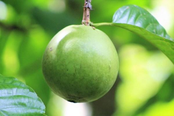 Borojó Fruta