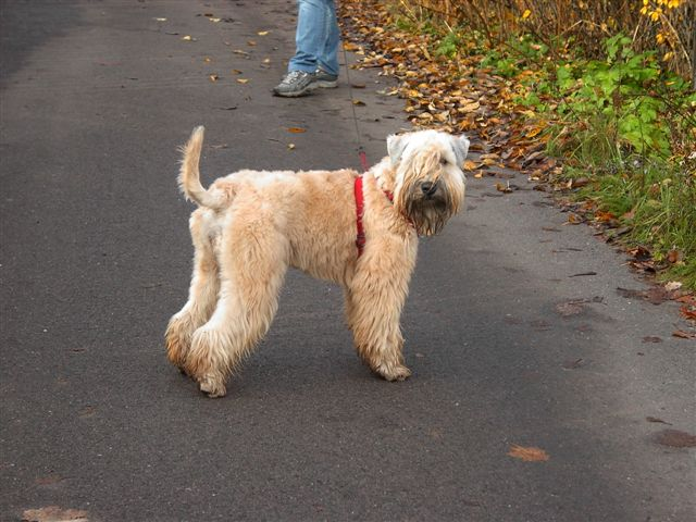 Wheaten Terrier walking