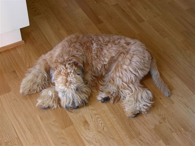 Wheaten Terrier sleeping