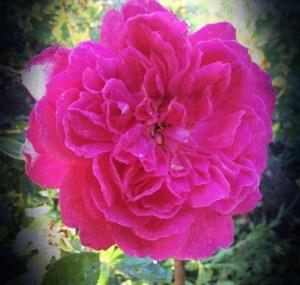 Mohur Rose