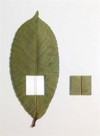 L'orMa, Plum line, 15,5x10,5cm, foglia naturale, cotone