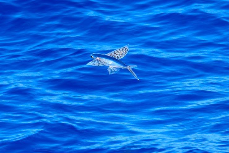 Flying Fish em Barbados (Foto via Shutterstock)