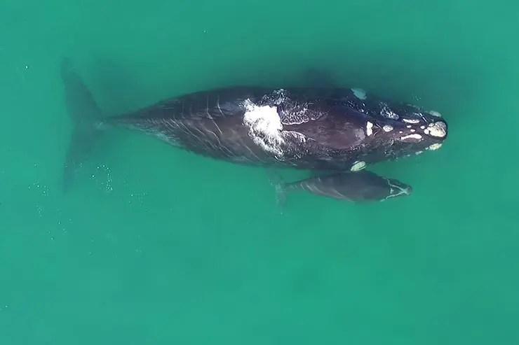 Baleias em Santa Catarina (Foto: Cortesia/Rodrigo Litman)