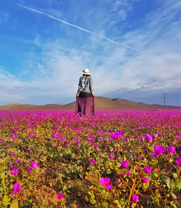 Deserto do Atacama florido, no Chile (Foto: Cortesia/Carla Boechat)