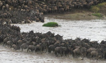 Wildebeest brave crocodile-infested Mara River