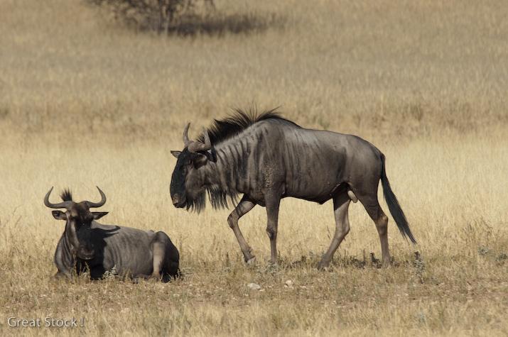 wildebeest, Kgalagadi Transfrontier Park (c) South Africa Tourism